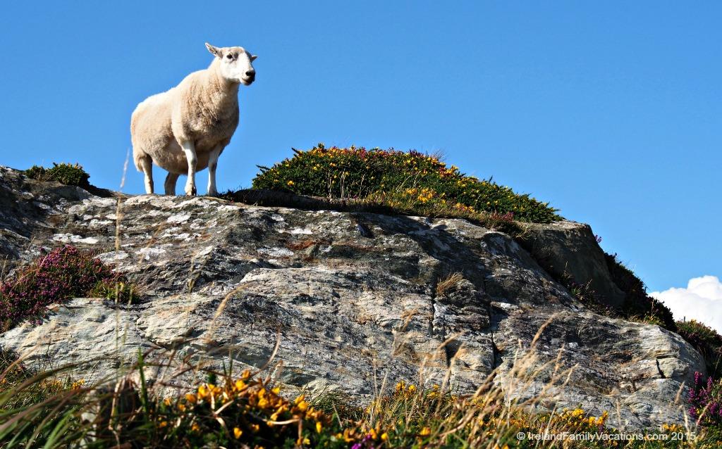 Irish sheep at Sheep's Head Peninsula